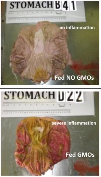 Шокиращи резултати от хранене на животни с генно-модифицирана храна