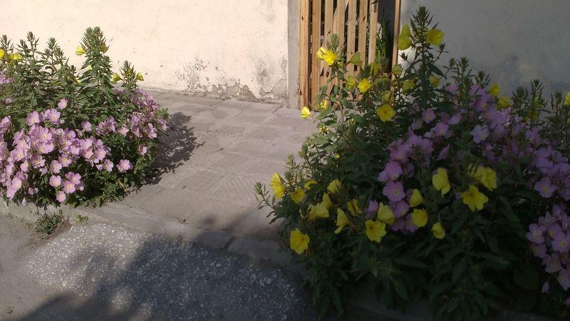 Гръцка петуния на тротоар – неочаквано добра комбинация (снимки)