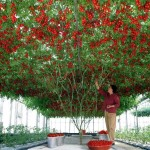 Виждали ли сте такова чудо – доматено дърво (снимки)