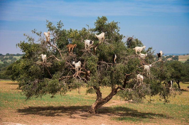 Стадо кози върху дърво – това не е анимация (снимки)