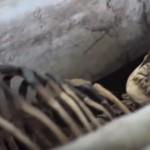 Експедиция открива човешки скелет висок 18 метра! в Индия (видео)