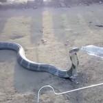 Умираща от жажда кобра си поиска вода от хората (видео)