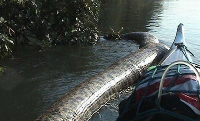 Бразилски рибари налитат на анаконда с чудовищни размери (видео)