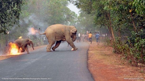 В Индия масово малтретират слонове – весело да става на тълпата