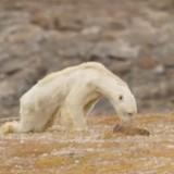 Покъртителната история със снимка на умираща от глад бяла мечка
