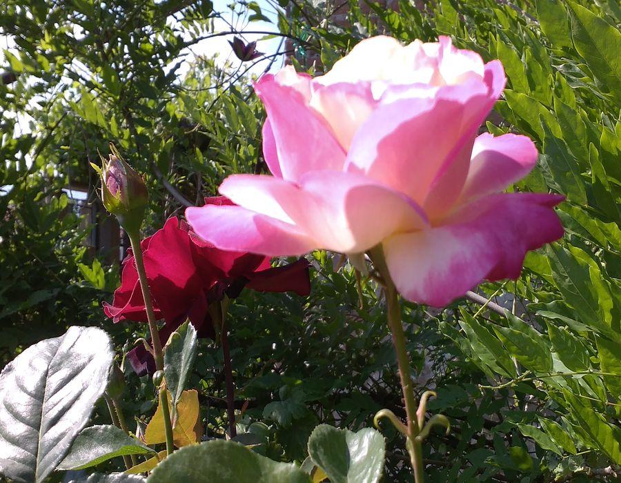 Когато розите цъфтяха (снимки)