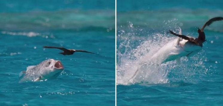 Зрелищен улов на птица от акула (видео)
