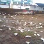 Силна градушка уби хиляди птици в Индия