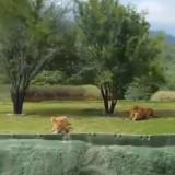 Вбесена лъвица се опита да нападне туристи (видео)