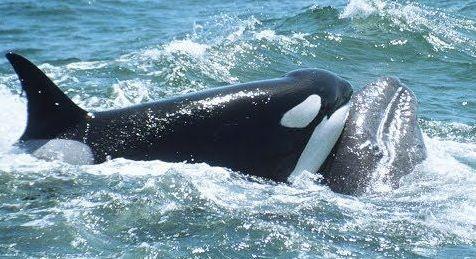 Гърбати китове рискуват живота си, за да спасят китче от друг вид (видео)
